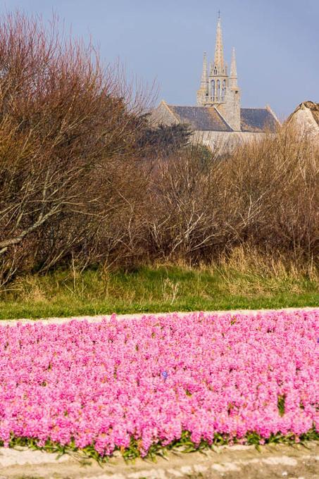 Toilapol - Bretagne - Finistère :  balade entre les champs de jacinthes (5 photos dont un pano)  © Paul Kerrien - http://toilapol.net | photo en Bretagne - Finistère | Scoop.it
