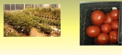 Tomates modificados por ingeniería genética para eliminar el colesterol malo de quien los come   Era del conocimiento   Scoop.it