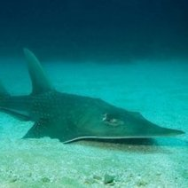 One-Quarter of Sharks and Rays at Risk of Extinction : DNews | In Deep Water | Scoop.it