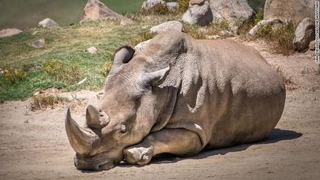Northern white rhino dies; 5 left worldwide | Vloasis sci-tech | Scoop.it