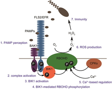 Molecular Cell: Direct Regulation of the NADPH Oxidase RBOHD by the PRR-Associated Kinase BIK1 during Plant Immunity (2014) | Flossing & Health | Scoop.it