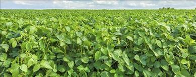 China clears Monsanto's Xtend soybeans for import | Grain du Coteau : News ( corn maize ethanol DDG soybean soymeal wheat livestock beef pigs canadian dollar) | Scoop.it