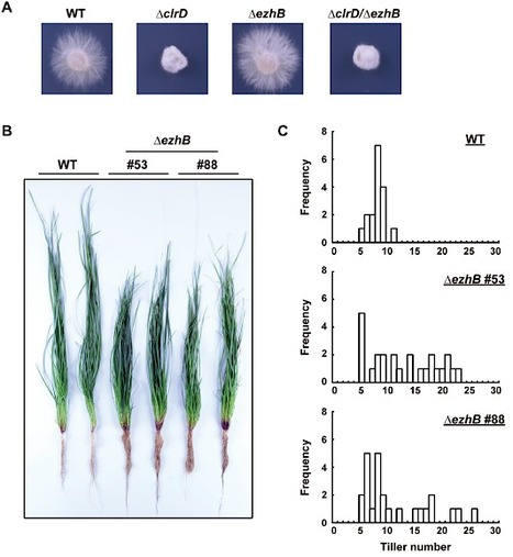 Mol Microbiology: Histone H3K9 and H3K27 methylation regulates fungal alkaloid biosynthesis in a fungal endophyte–plant symbiosis (2014) | Plants and Microbes | Scoop.it