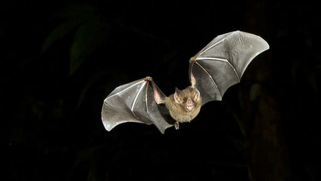 Bats Are Dying, And Wind Turbines Are A Major Culprit | Bat Biology and Ecology | Scoop.it