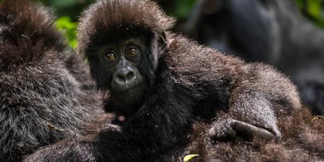 Abgewendet: Keine Ölbohrungen in Virunga!   Wissenswert - Lesenswert - Beachtenswert   Scoop.it