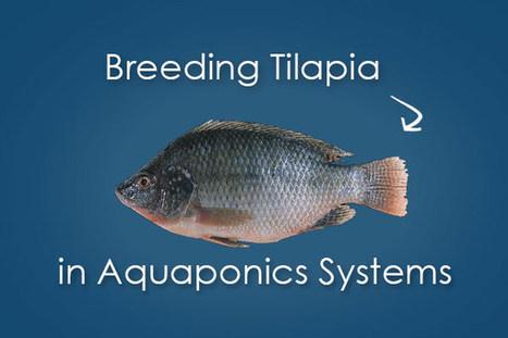 Breeding Tilapia for Aquaponics - Bright Agrotech | Aquaponics | Scoop.it