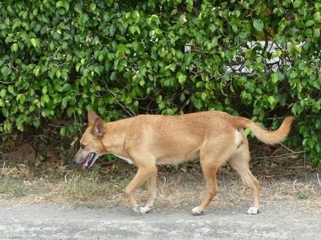 Photo de mammifère : Chien domestique - Canis lupus familiaris - Chiens de race - Dogs - Dogs - Chienne - Chiot - Chiennes - Chiots | Fauna Free Pics - Public Domain - Photos gratuites d'animaux | Scoop.it
