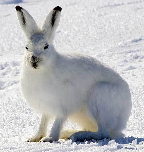 Arctic Hare Facts | Enjoy All these Interesting Facts about Arctic Hares | AnimalsTime | Scoop.it