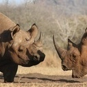 Vietnam and South Africa Have Pledged to Close a Huge Rhino Loophole - Motherboard (blog)   Save our Rhino and all animals...this is what it looks like!!!!!   Scoop.it