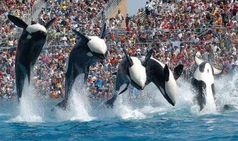 Should California make Sea World's killer whale shows illegal? | All about water, the oceans, environmental issues | Scoop.it