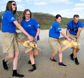 SeaWorld Orlando Returns 14 Sea Turtles to Atlantic - Brevard Times   Turtle Conservation News for KTCS   Scoop.it