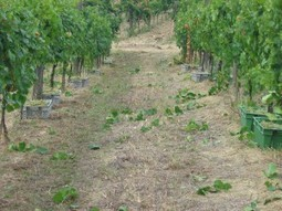 Poderi Capecci San Savino: Harvest Preview 2015 | Wines and People | Scoop.it