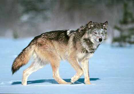 Grassroots Groups Sue Feds for Delisting Wolves in Wyoming | EcoWatch | Scoop.it