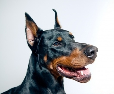 Burgess Pet Care » Blog Archive » Dispelling the Doberman Myth: Friendly Family Pets or Fearsome Foes? | Dogs | Scoop.it