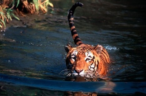 India's Tiger Murder Mystery | Nature Animals humankind | Scoop.it