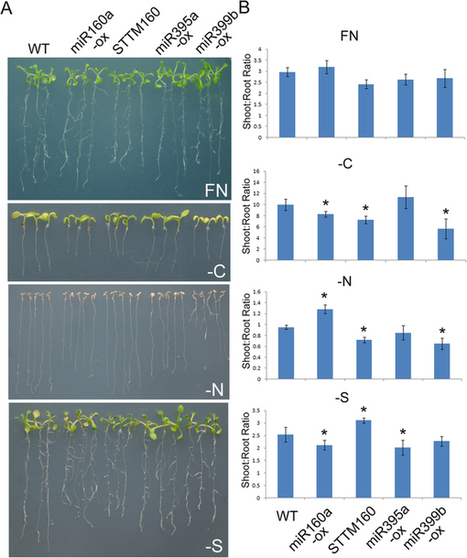 Uncovering miRNAs involved in crosstalk between nutrient deficiencies in Arabidopsis | Plant nutrition & stress | Scoop.it