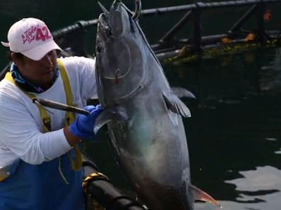 Could Farming Bluefin Tuna Help Ensure Its Survival? | Vertical Farm - Food Factory | Scoop.it