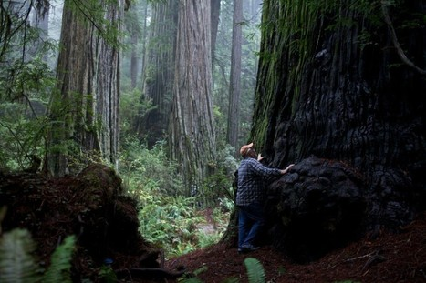 Ancient trees cloned to begin new forest of redwoods | Our Evolving Earth | Scoop.it