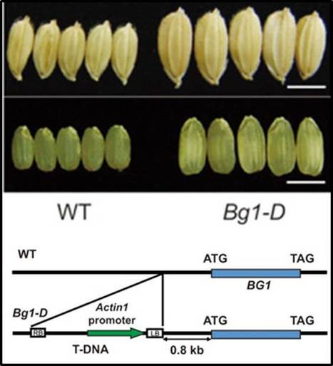Activation of Big Grain1 significantly improves grain size by regulating auxin transport in rice | Plant Biology Teaching Resources (Higher Education) | Scoop.it