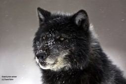 Wolf Weekly Wrap- Up - Defenders of Wildlife Blog | GarryRogers Biosphere News | Scoop.it