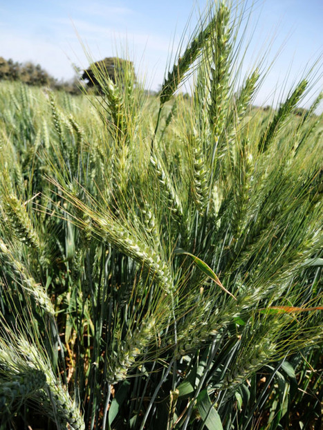 Canada: Too many wheat research projects point to problem | WHEAT | Scoop.it