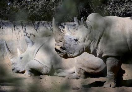 US bars sale, trade of white rhino horns | NGOs in Human Rights, Peace and Development | Scoop.it
