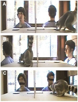 Group Size Predicts Social but Not Nonsocial Cognition in Lemurs | Science | Scoop.it
