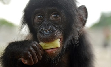 Behaving like animals: The Bonobo and the Atheist | Empathy and Animals | Scoop.it