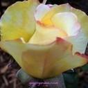 Rose Garden How Do I Love Thee? | Gaga's Garden | Annie Haven | Haven Brand | Scoop.it