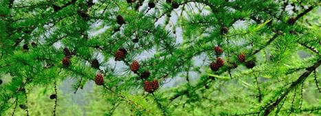 Moringa Seeds | Moringa Seeds | Scoop.it