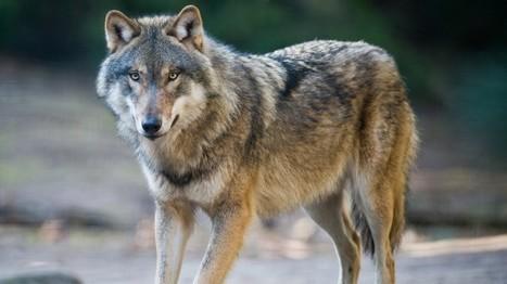 Hautes-Alpes : le loup à deux pas de la bergerie | Loup | Scoop.it