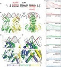 Structural Basis for DNA Binding Specificity by the Auxin-Dependent ARF Transcription Factors | Hormones in Plant Development | Scoop.it