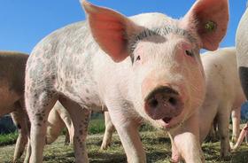ブタはチンパンジーやイルカ並みに高い知能…食肉用動物としての扱いを再考する必要がある : 痛いニュース(ノ∀`) | 七生報國 | Scoop.it
