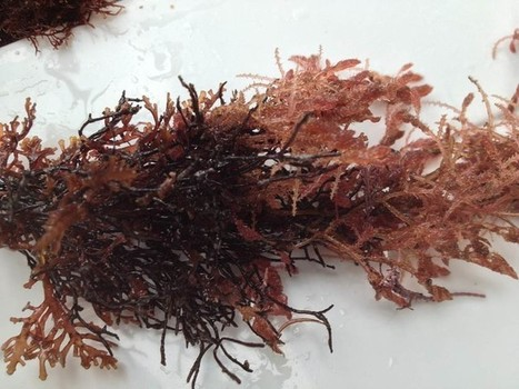 Seaweed could hold the key to cutting methane emissions from cow burps | Eco issues | Scoop.it