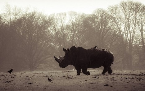 Selling Nature: The Plight of the South African Rhinoceros | LOVE YOUR ANIMALS AND SAVE WILDLIFE | Scoop.it