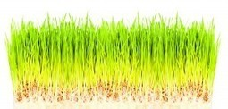 Wheatgrass, the Ultimate Nutrient Booster - The Epoch Times   Healing Foods Recipes and Healthy LifestyleTips   Scoop.it