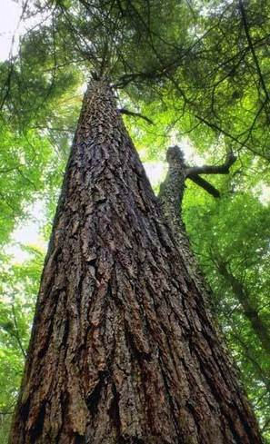 The Importance of Big, Old Trees | American Forests | Tree Preservation Planning | Scoop.it