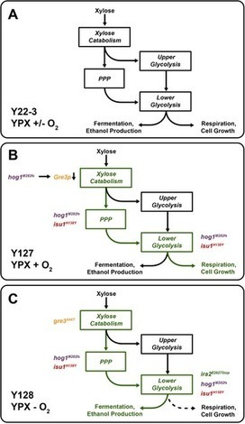 Directed Evolution Reveals Unexpected Epistatic Interactions That Alter Metabolic Regulation and Enable Anaerobic Xylose Use by Saccharomyces cerevisiae | Saccharomyces evolution and Biotechnological applications | Scoop.it
