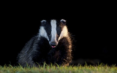 Saboteurs aim to wreck first badger cull - Telegraph | Life on Earth | Scoop.it