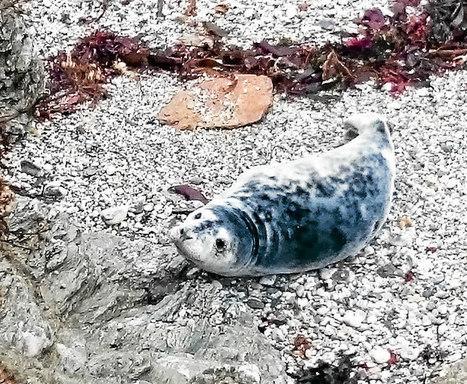 Belle-Ile-en-Mer : Des mammifères marins plus nombreux | Zones humides - Ramsar - Océans | Scoop.it