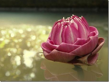 Imagens de Rosas e Flores: Flores de Lótus   Orquídeas   Scoop.it