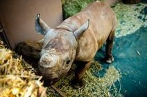 More people being convicted for rhino poaching | What's Happening to Africa's Rhino? | Scoop.it