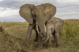 DÉTAILS de L'HISTOIRE..Près d'une centaine d'éléphants massacrés en une nuit au Tchad | florarage | Scoop.it