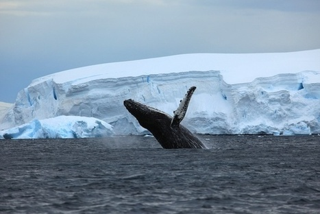'60 Minutes' Spotlights Humpback Whale Conservation, Sea Shepherd | wildlife | Scoop.it