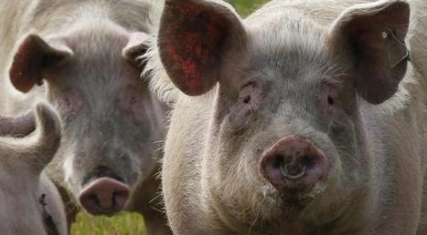 L'agriculture française sous la pression du porc allemand | Questions de développement ... | Scoop.it