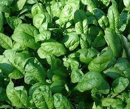 Researchers determine factors that influence spinach contamination pre-harvest | Sustain Our Earth | Scoop.it