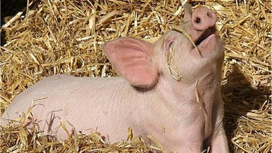 Virus prompts new pig blood rules | Virology and Bioinformatics from Virology.ca | Scoop.it
