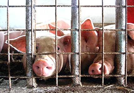 How Factory Farming Contributes to Global Warming | Plant Based Transitions | Scoop.it