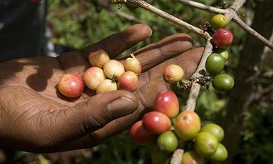 Climate change adaptation takes root in Peruvian coffee farms | Managing Technology and Talent for Learning & Innovation | Scoop.it