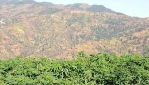 Maroc : vers une légalisation de la culture du cannabis ? - Jeune Afrique | howHIGH | Scoop.it